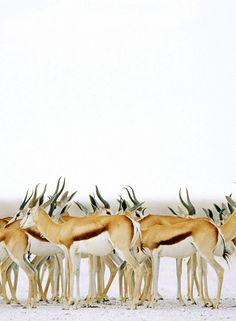 Springbok antelopes are a type of gazelle, from the grasslands of Africa. They are a medium to small size and travel in large herds.