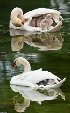 The idea of swan boats is much cuter when it's a parent transporting the cygnets. (That's what baby swans are. Cygnets.)