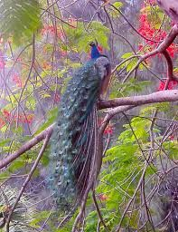 Image result for peacocks