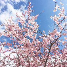 Salut toi, t'as de belles fleurs tu sais.  #prunus #arbre #enfleurs #printemps #spring #pink #blossom #flowers #flowerlovers #nofilter #love #pink #bluesky