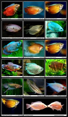 ❤ =^..^= ❤ Gourami | Common names will vary .....