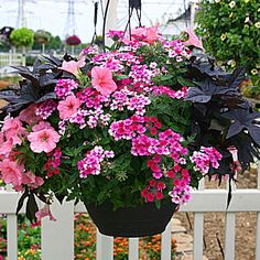 Hanging basket with light coral petunia, verbena Silver Ann, black sweet potato