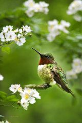Birds Photograph - Fauna And Flora - Hummingbird With Flowers by Christina Rollo