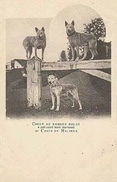 Early Belgian Malinois about 1900.