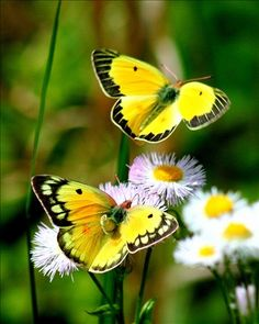 Beautiful yellow butterflies. Thewitchescircle