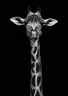 Giraffe on Black Poster in the group Posters & Prints / Insects & animals at Desenio AB Wildlife Photography, Animal Photography, Fine Art Photography, Photography Ideas, Insect Photography, Landscape Photography, Portrait Photography, Tier Wallpaper, Animal Wallpaper