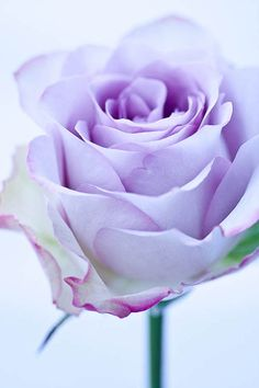Lavender Rose, one year ago today you transitioned to a higher plane of existence. I think of you often and at the most random of times. Not at all sad today, just grateful for the constant joy you gave. You are loved and missed.......