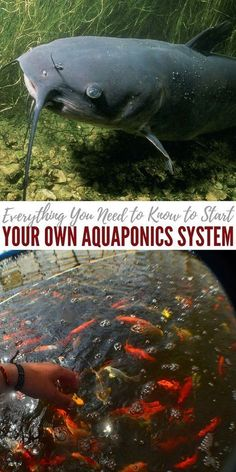 Everything You Need to Know to Start Your Own Aquaponics System - Aquaponics is an efficient integration of aquaculture and hydroponics in an automatic system that fuels growing plants and breeding edible fish altogether.