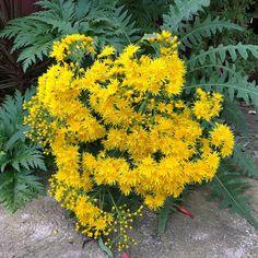 22 Best Canary Island Plant Freaks Ideas Canary Island Plants Canary