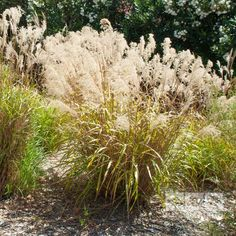 The 'Golden Oats Grass' is a really unique perennial which will really add height and movement to a sunny garden border or bed. It features clumps of slender gr