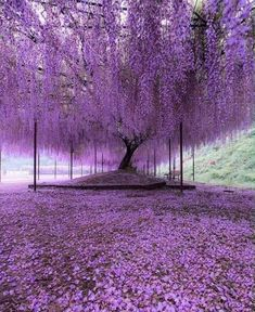 Nature Photography - Purple carpet of blooming Wisteria petals Hyogo, Japan. Photo by Wisteria Tree, Purple Wisteria, Purple Trees, Wisteria Japan, Wisteria Tunnel, Wisteria Garden, Purple Flowers, Beautiful Flowers, Beautiful Places