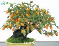 50 Persimmon Seeds, Diospyros Kaki, Exotic Bonsai, Beautiful & Delicious…
