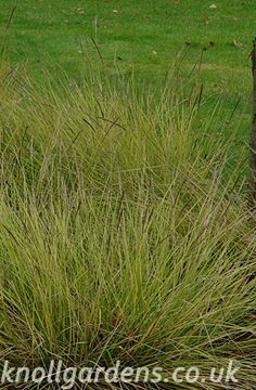 Pennisetum fairy tails knoll gardens ornamental for Ornamental grasses that stay green all year