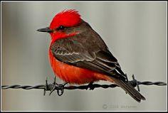Vermilion Flycatcher - Spotted this guy! Pretty Birds, Beautiful Butterflies, Beautiful Birds, Vermilion Flycatcher, Any Birds, Brown Paper Packages, Pink Bird, Exotic Birds, Bird Watching