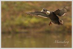 Naturen i höstskrud på Skäralid « Allt kan Grönska. Flying duck, coming in!