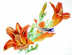 """Phillip Potter """"Day Lillies -Four of July"""" 14″ x 11″, 2017 watercolor and colored pencil on paper."""