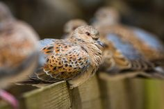 Rewilding Farm Creates Refuge for England's Rare Turtledoves Pictures Of Turtles, Turtle Dove, Urban Homesteading, Wildlife, England, National Trust, Flute, Europe, Kitty