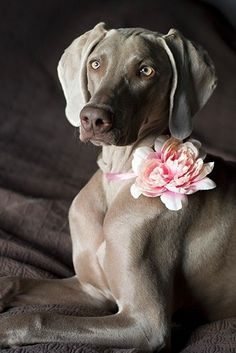 First time lovely dog wedding. #dogs #pets #Weimaraners Facebook.com/sodoggonefunny