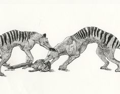 """Check out new work on my @Behance portfolio: """"Thylacine (A.K.A. Tasmanian Wolf)"""" http://be.net/gallery/37157221/Thylacine-(AKA-Tasmanian-Wolf)"""
