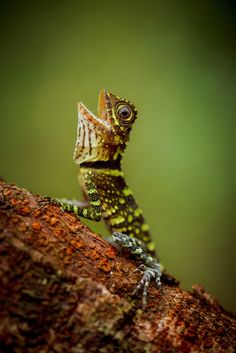 "creatures-alive: "" (via / Bornean Angle-headed Lizard by Petr Bambousek) "" Les Reptiles, Reptiles And Amphibians, Mammals, National Geographic Animals, National Geographic Photo Contest, Beautiful Creatures, Animals Beautiful, Cute Animals, Paludarium"