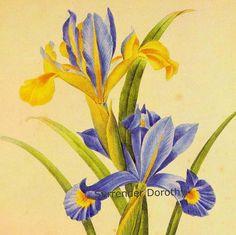 Iris Xiphium Spanish Iris Redoute Vintage par SurrenderDorothy