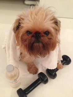 Working out! #brusselsgriffon