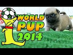Pug Puppies Face-off Against Bichon Frise in the World Pup!