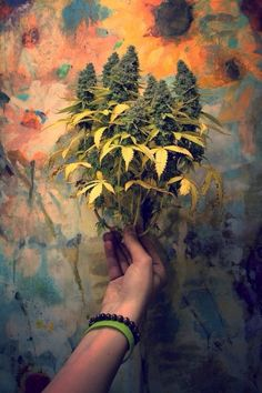 Carefully selected mothers and 'fathers' are used to create our cannabis genetics. We use the most stable, viable and potent plants to produce our cannabis seeds. Marijuana Leaves, Arte Bob Marley, Weed Pictures, Weed Pics, Medical Marijuana, Stoner Girl, Smoke Weed, Weed, Flowers