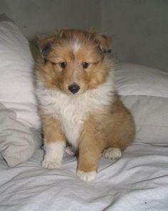 Compra Venta de Perros Cachorros Pastor de Shetland