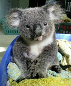 "This is the cutest thing I have ever seen. It is a koala recuperating from bushfires right now. From ""my cat "" FB page."