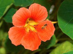 Kapuzinerkresse, Blüte und Insekt