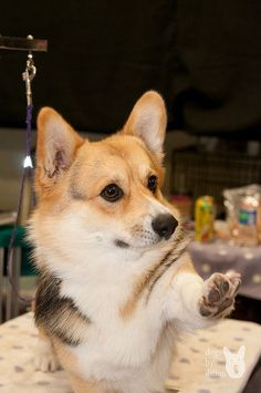 Don't Forget the Pinkie Toe! - Cute Pembroke Welsh Corgi gets a pedicure - Silver Bay Kennel Club   Flickr - Photo Sharing! by Jeff Dillon #PembrokeWelshCorgi