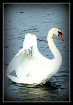 A White Swan taking off from the water.