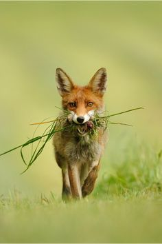 I likes salad wif my dinner mole Red Fox by Ingrid Lamour Animals Beautiful, Cute Animals, Wild Animals, Wolf, Fox Illustration, Pet Fox, Lovely Creatures, Fox Pattern, Fox Art