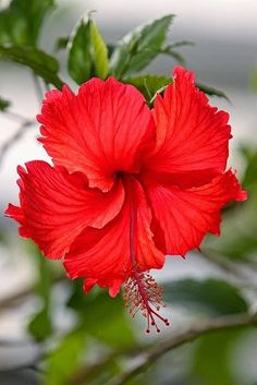 GORGEOUS RED HIBISCUS.