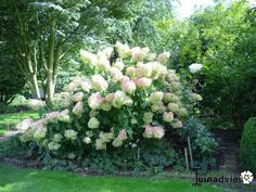 1000 images about hydrangea on pinterest hydrangea paniculata climbing hydrangea and hydrangeas. Black Bedroom Furniture Sets. Home Design Ideas