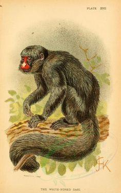 primates_best-00059 - White-nosed Saki [2127x3405]