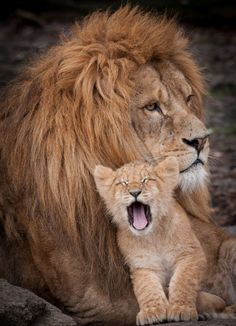 Getting cosy: The cub at Odense Zoo in Denmark got comfortable in its father's arms before a nap