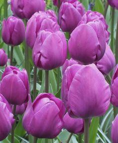 Negrita Tulip x 30 Bulbs Beautiful Dark Purple Triumph Tulip Flowers 5060287582038 Purple Flowers Wallpaper, Plum Flowers, Purple Tulips, Tulips Flowers, Daffodils, Mary Flowers, Real Flowers, Pretty Flowers, Cottage Garden Plants
