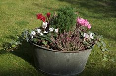 I have a wash tub like this that needs replanting. Cyclamens will be perfect!