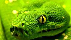 emerald tree boa hd wallpaper reptiles and amphibians desktop backgrounds Snake Wallpaper, Eyes Wallpaper, Iphone 6 Wallpaper, 1920x1200 Wallpaper, Animal Wallpaper, Les Reptiles, Reptiles And Amphibians, Beautiful Creatures, Animals Beautiful