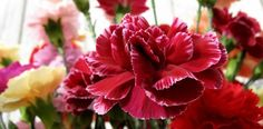 Carnations offer an astounding array of colors and textures but are often overlooked for bridal bouquets. From FloristChronicles.com.