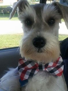 A Community Of Schnauzer Lovers … Link: https://www.sunfrog.com/search/?64708&search=schnauzer&cID=62&schTrmFilter=sales