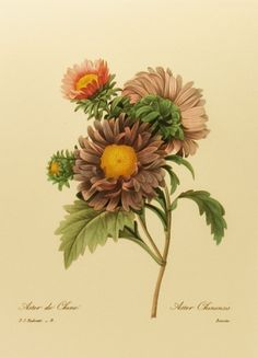 Vintage Flower Print, Chinese Aster Redoute Botanical Illustration (For You To Frame) 9 x 12 Book Plate No. 9. $5.00, via Etsy.