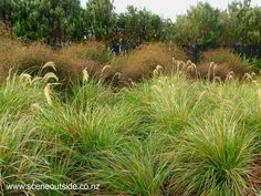 About Garden Design - Chionochloa flavicans