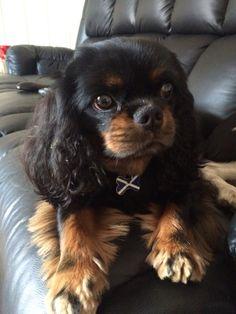 Freddie pup Cav King Charles Cavalier Black and Tan