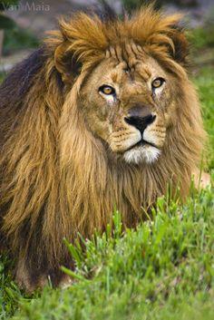 Lion Antuak / Santuário Rancho dos Gnomos