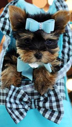 The tiniest and the cutest Yorkshire Terrier puppies and teacup Yorkies in the Nation are found here! Teacup Yorkie For Sale, Yorkies For Sale, Chien Yorkshire Terrier, Biewer Yorkshire, Cute Puppies, Cute Dogs, Yorkie Dogs, Yorkie Teacup Puppies, Teacup Dogs