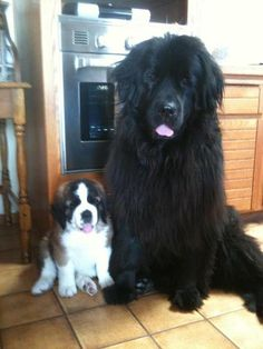 Saint Bernard puppy & Newfoundland... These are the two dogs that I would LOVE to have.One day: