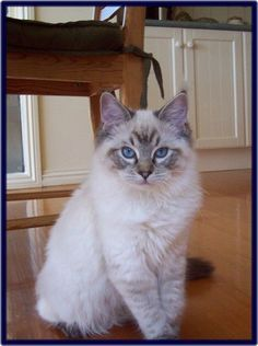 Sydney at 6 months...Tabby point Siamese Pretty cats